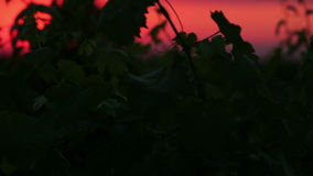 Vineyard. At sunset morning with blue sky stock video footage