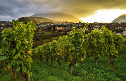 Vineyard at sunset near Spiez Castle Royalty Free Stock Photo