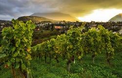 Vineyard at sunset near Spiez Castle. Berner Oboerland. Switzerland royalty free stock photo