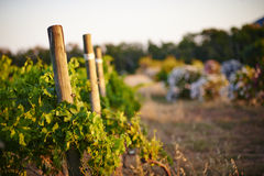 Vineyard at sunset Royalty Free Stock Images