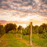 Vineyard on sunset Stock Images