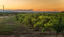 Vineyard at sunset, southern France. Vineyards at sunset in the south of France stock images