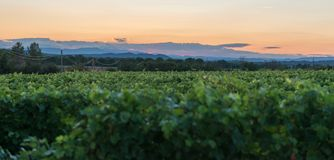 Vineyard at sunset, southern France. Vineyards at sunset in the south of France stock photos