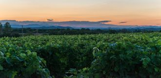 Vineyard at sunset, southern France. Vineyards at sunset in the south of France royalty free stock images