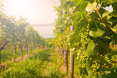Vineyard. At sunset in summer stock photo