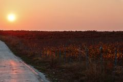Vineyard during sunset Royalty Free Stock Photography