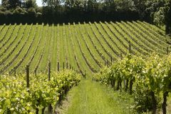 Vineyard in Surrey. England Stock Photo