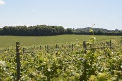 Vineyard in Surrey. England Stock Image