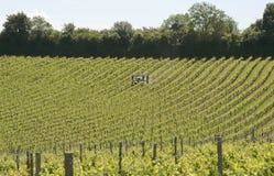 Vineyard in Surrey. England Stock Photos