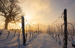 Vineyard Sursee in winter sunrise. Vineyard covered in snow during a winter sunrise stock image