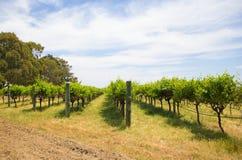 Vineyard. A vineyard in Swan Valley, Australia Stock Images