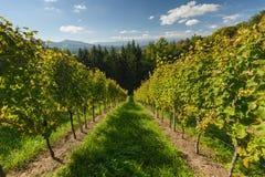 Vineyard. Sweet and tasty white grape bunch on the vine -Styrian Tuscany Vineyard, Austria Stock Photos