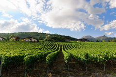 Vineyard in Switzerland. Production of grapes and wine in southern Switzerland Royalty Free Stock Photo