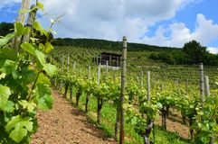 Vineyard In Switzerland Stock Images