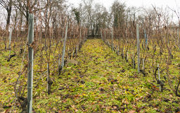 Vineyard in Switzerland Stock Image