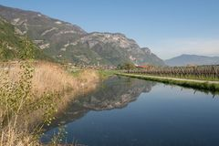 Vineyard and taraxacum. Rovereto and vallagarina valley vineyard and apple trees stock image