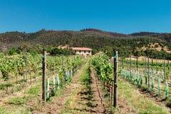 Vineyard in Tasmania Stock Image