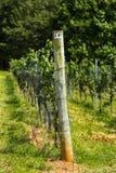 Vineyard Trellis and Grape Vine Royalty Free Stock Photo
