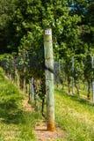 Vineyard Trellis and Grape Vine Stock Image