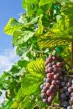 Vineyard in Thailand Stock Photo
