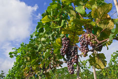 Vineyard in Thailand Royalty Free Stock Images