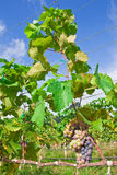 Vineyard in Thailand Stock Photo