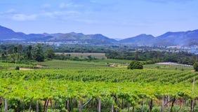 Vineyard in thailand Stock Image