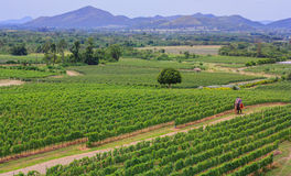 Vineyard in thailand Royalty Free Stock Photo