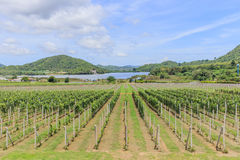Vineyard in Thailand Royalty Free Stock Photography