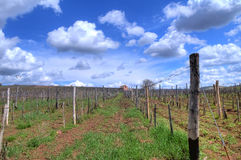 Vineyard in Tokaj Stock Photo