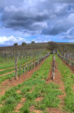 Vineyard in Tokaj Royalty Free Stock Images