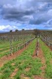 Vineyard in Tokaj Royalty Free Stock Images