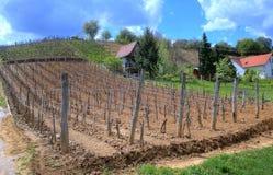 Vineyard in Tokaj Royalty Free Stock Photo