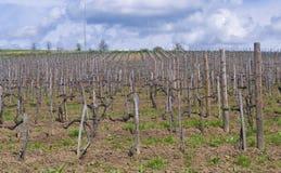 Vineyard in Tokaj Stock Photo