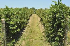 Vineyard trail. Trail leading through a vineyard Royalty Free Stock Photo