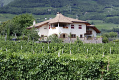 Vineyard of Tramin in South Tyrol Royalty Free Stock Photo