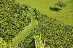 Vineyard and Tree. Vineyard and lone tree in the evening sun Royalty Free Stock Photo