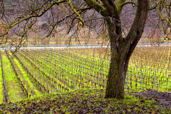Vineyard and tree Stock Images