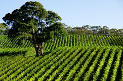 Vineyard Tree Stock Photo