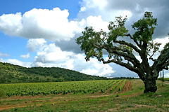 Vineyard and tree Royalty Free Stock Images