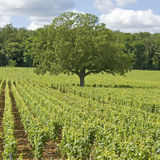 Vineyard, with tree in Burgundy. France Stock Image