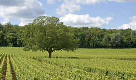 Vineyard with tree, Burgundy. France. Royalty Free Stock Photography