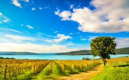 Vineyard and tree on Corbara Lake, Orvieto, Umbria Italy royalty free stock image