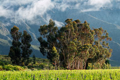 Vineyard and tree landscape Royalty Free Stock Photography