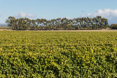 Vineyard with trees in background Stock Images