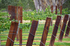 Vineyard Trellis Royalty Free Stock Image