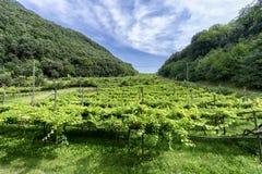 Vineyard in Trentino Alto Adige, Italy Stock Images