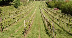 Vineyard - Treviso -Italy Stock Photo
