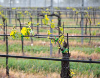 Vineyard in tuscan country. With aligned vines on wires Royalty Free Stock Images