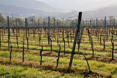Vineyard in tuscan country. With aligned vines on wires Stock Photography